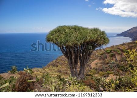 Canary Islands dragon tree (Dracaena draco)