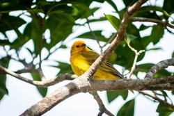 Canary-of-the-real-land (Sicalis flaveola) or the true canary (Sicalis flaveola), perched on the branch of a tree in Brazil