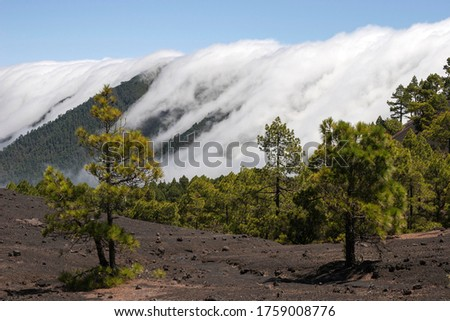 Canary Pines (Pinus canariensis) in the Parque Natural de Cumbre Vieja, a waterfall of clouds above the Cumbre Nueva behind, La Palma, Canary Islands, Spain Foto stock ©
