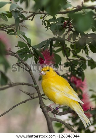 canary, (Serinus canaria domestica)  in bottle brush tree in South Florida