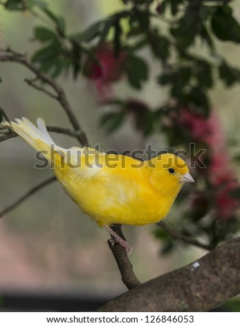 canary, (Serinus canaria domestica)  in bottle brush tree in South Florida - stock photo