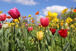 Canberra, Australia - 20 September 2019:  A field of tulips and poppies at the Floriade festival, the Australia's biggest celebration of spring