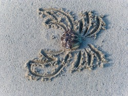 cancer carapace on sandy beach funny