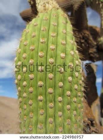 Candelabra cactus (Browningia candelaris) around Ari