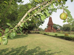 Candi Bajang Ratu with maja fruit that grows in the temple area