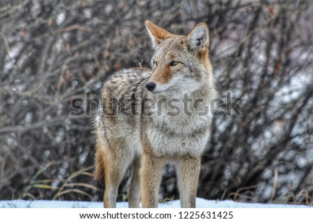 Candid Coyote Picture