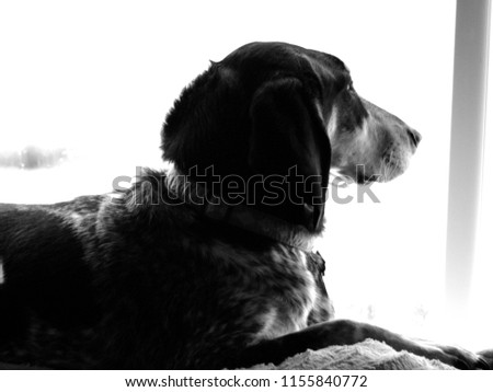 Candid photo of Blue Tick Hound relaxing