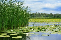 Cane and white lilies on the lake against the cloudy sky