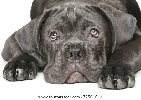 Cane corso dog puppy Close-up portrait on a white background