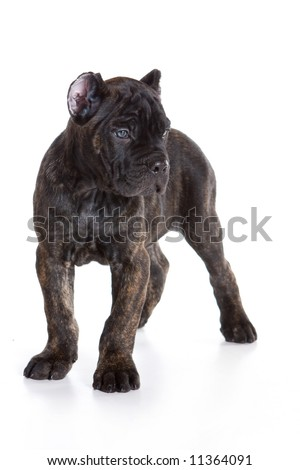 Cane CORSO Italiano Puppy On White Stock Photo 11364091 : Shutterstock