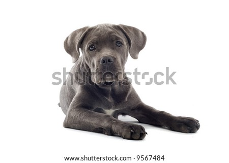 cane corso pup isolated on a white background