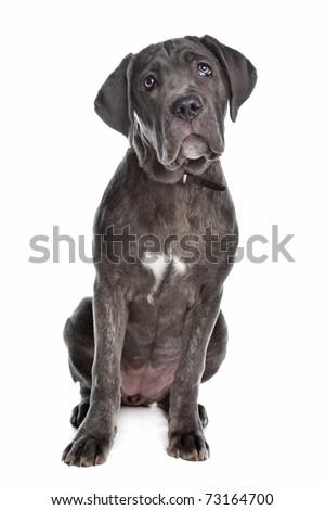 Cane corso puppy - stock photo