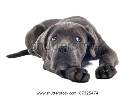 Cane corso puppy in front of a white background