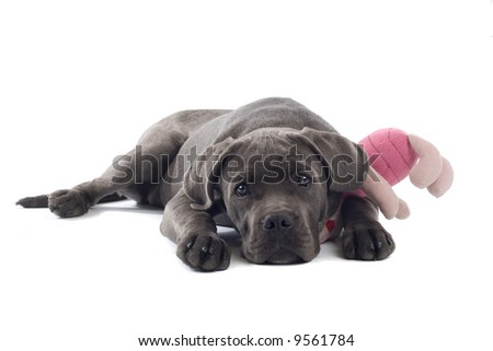 cane corso puppy isolated on a white background - stock photo