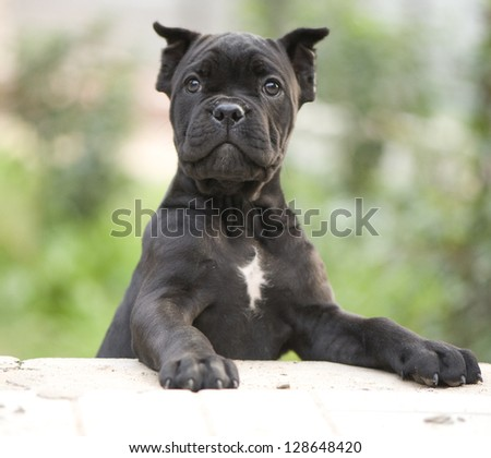 Cane corso puppy, 10 weeks old