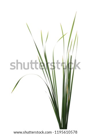 Cane, reed leaves, isolated on white background
