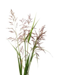 Cane, reed seeds and grass isolated on white background, clipping path