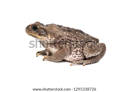 Cane toad Rhinella marina isolated on white background. Giant neotropical toad. Marine toad