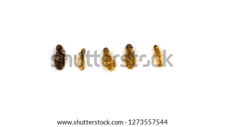 Canine chewing louse Trichodectes canis,Linognathus setosus,on the White Background