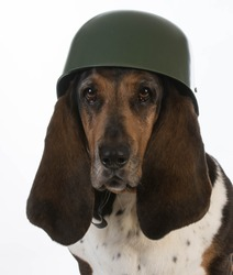 canine soldier - basset hound wearing military helmet on white background