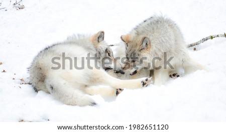 Canis lupus est une espèce de canidés comprenant plusieurs sous-espèces sauvages, domestiques ou férales Photo stock ©