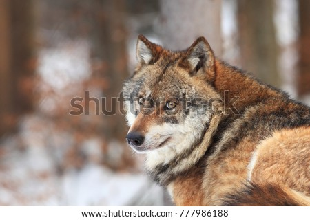 Canis lupus. Wolf in winter nature. Pictures from the National Park. Living all over Europe.