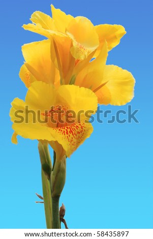 canna flower is tropical plants