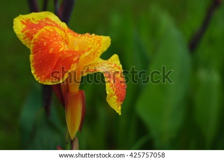 Canna flowers fresh colorful style is sacred and planted flowers on the garden, government buildings, places of worship. #425757058