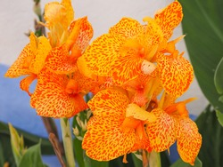 Canna lily blossoms, close up. Cannas are large-flowered, herbaceous garden plant in the family Cannaceae. 'Florence Vaughan' is a Crozy Group cultivar, flowers are open, yellow with orange spots.