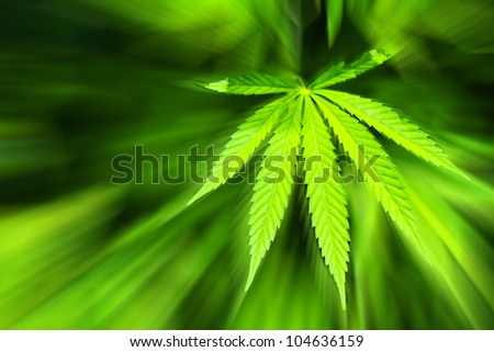 Cannabis background - stock photo