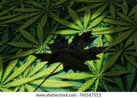 Cannabis Canada law and Canadian marijuana legalization regulations as a group of leaves with a shadow of a maple leaf as a recreational and medical drug in a 3D illustration style.