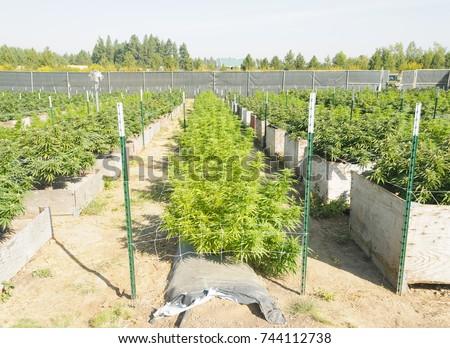 Cannabis growing on a legal medical grow farm in Washington