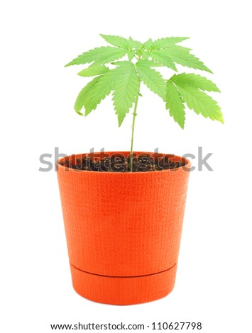 cannabis in a pot