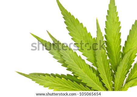 Cannabis  is a genus of flowering plants that includes three putative species, Cannabis sativa, Cannabis indica, and Cannabis ruderalis.