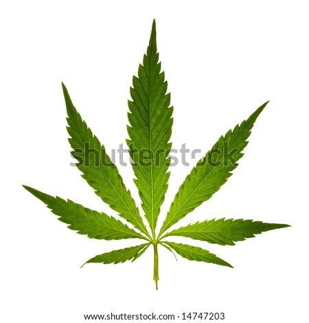 stock photo : Cannabis leaf
