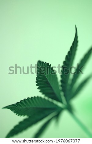 Cannabis leaf close up medical marihuana background top view flat lay modern high quality big size prints Stockfoto ©