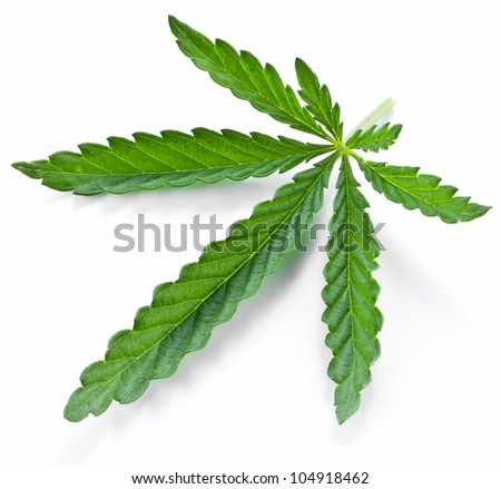 Cannabis leaf isolated on a white background