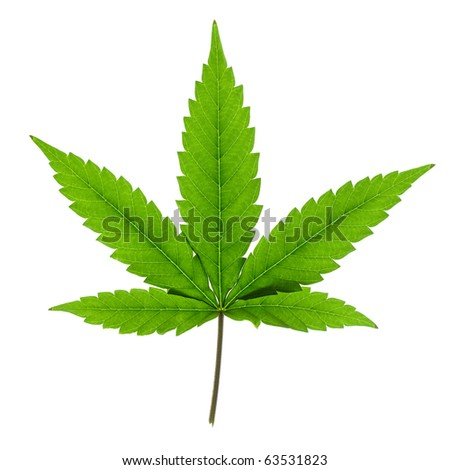 Cannabis leaf isolated on white background.