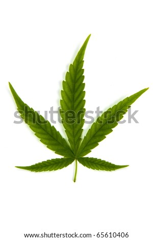 Cannabis leaf isolated on white background .