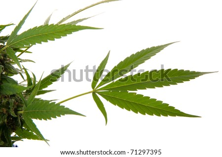 Cannabis leaf - Mariuana plant and leaf - hemp on white background