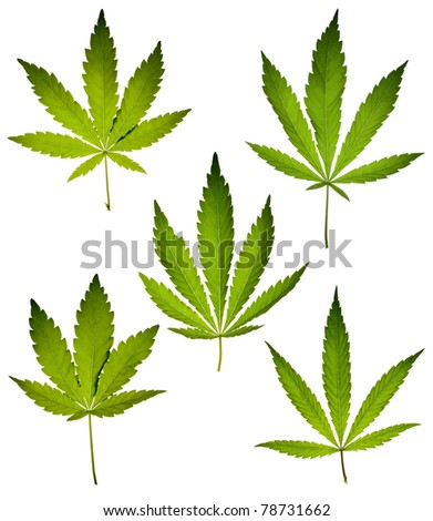 Cannabis leafs isolated on white background.