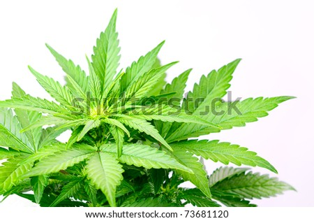 cannabis, marijuana leaves on a white background