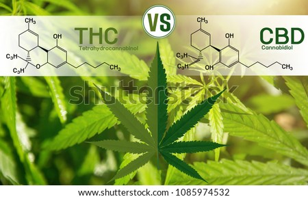 Cannabis of the formula CBD-THC