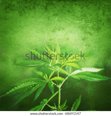 Cannabis on grunge background