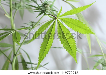 cannabis plant isolated on the white background