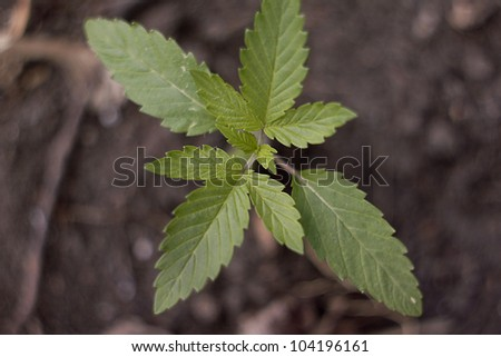 Cannabis Sativa Seedling