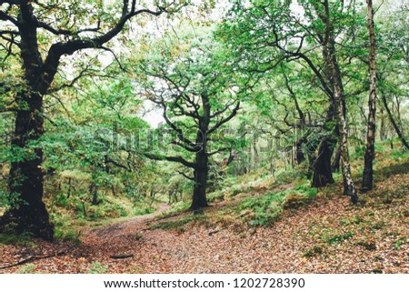 Cannock Chase ancient old oak trees found near Brocton, Staffordshire, England, UK. These are believed to be arond 400 years old or more
