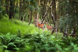 Cannock Chase, Fallow deer, red deer in the forest, birmingham
