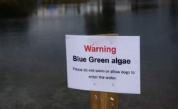 Cannock, Staffordshire, UK. 11th August 2017. Blue-green algae has hit problematic levels at Chasewater Country Park with warning signs out against entering the water for humans and animals