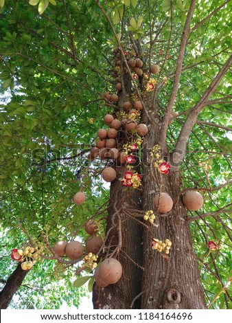 cannonball tree (Couroupita guianensis), native to the Amazon, from Brazil nut family, which has round fruits that hang in clusters and lush flowers